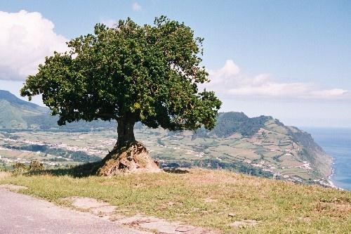 Paisagem Natural/rvore Aoreana