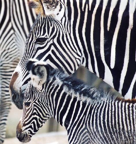 Animais/Zebras-Mae+Baby