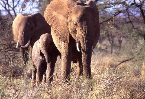 Animais/Familia Elefantes