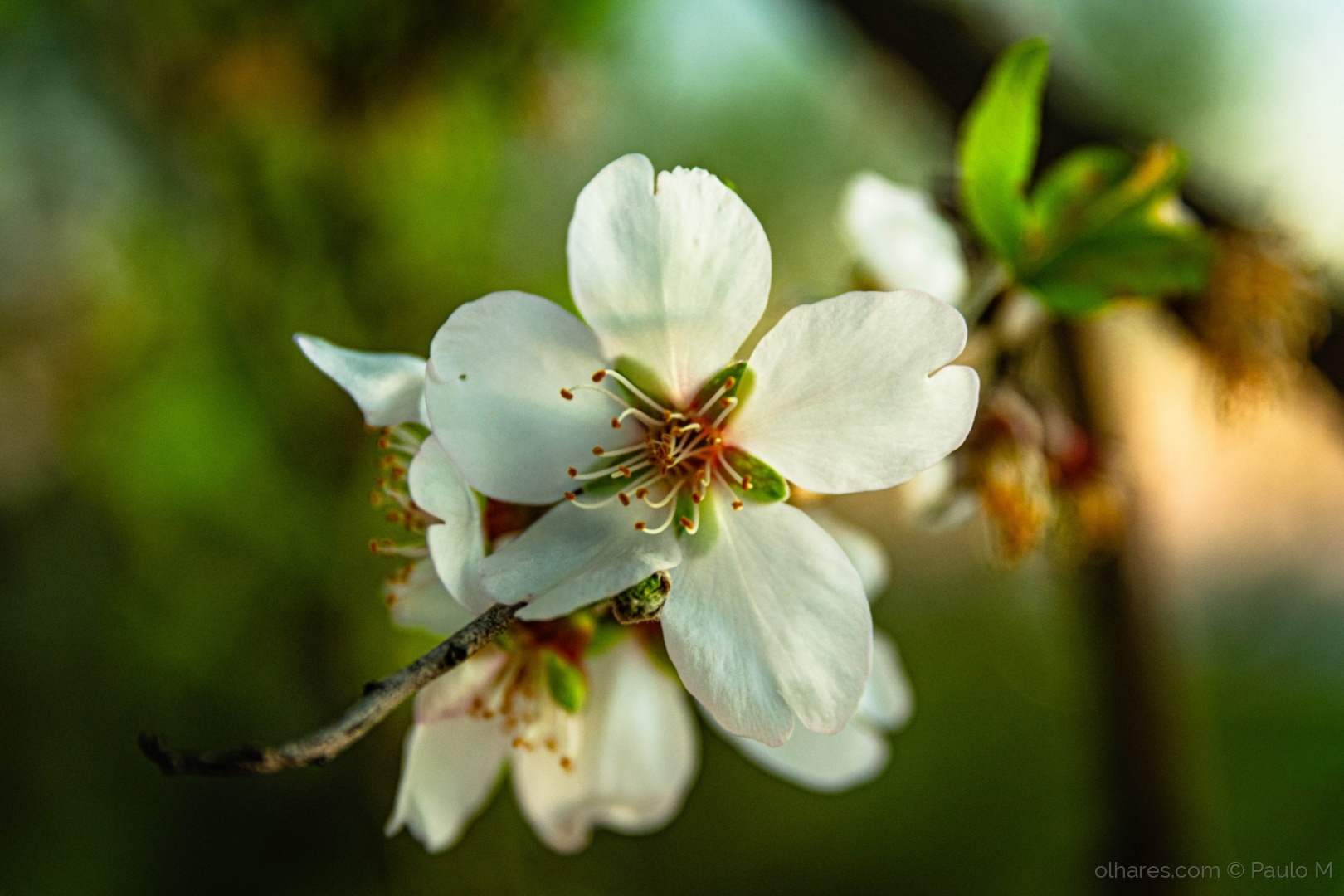 Paisagem Natural/Amendoeira em flor