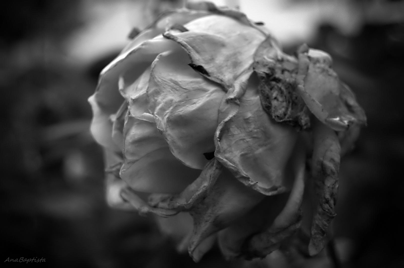 Outros/Uma rosa