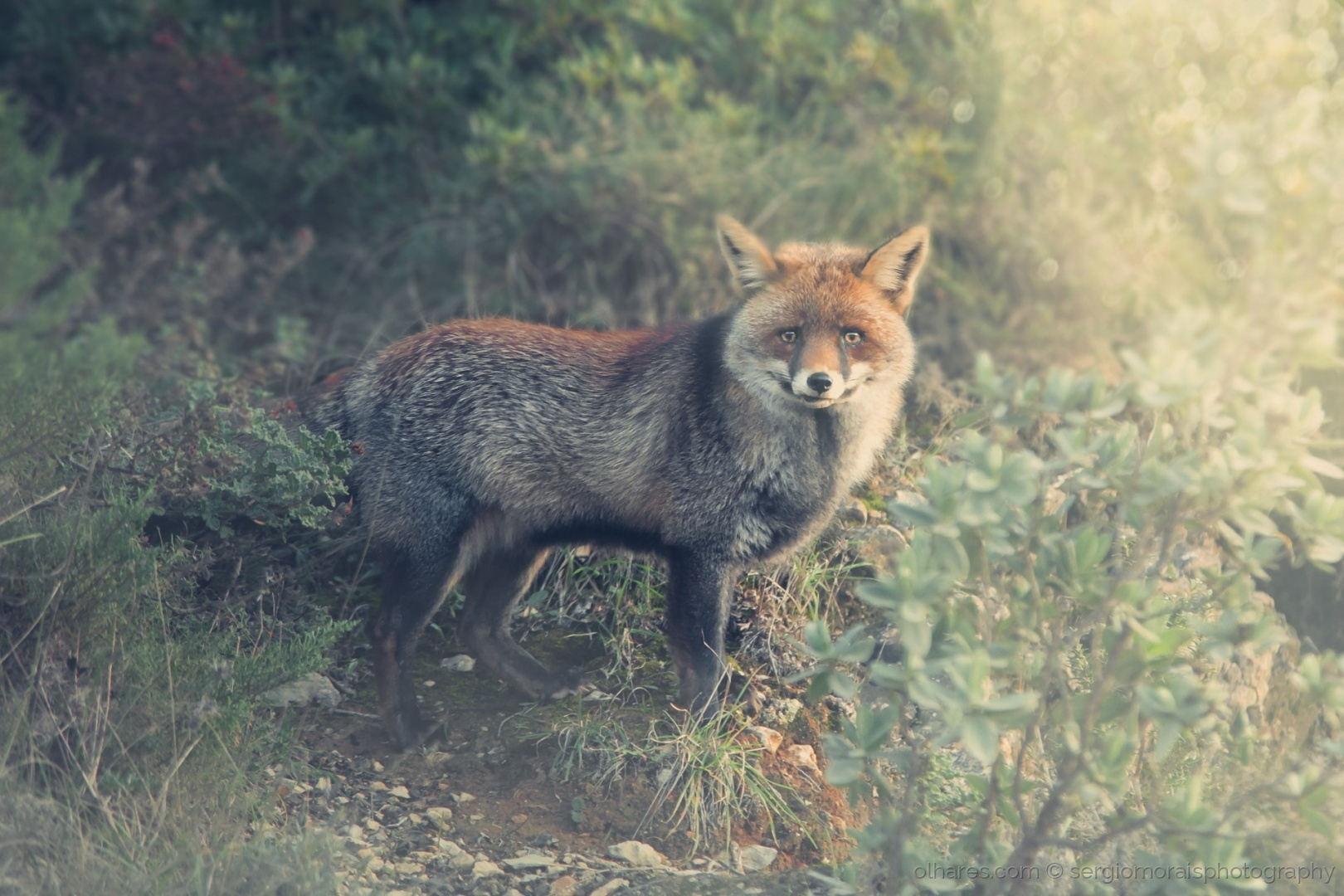 Animais/what does the fox say