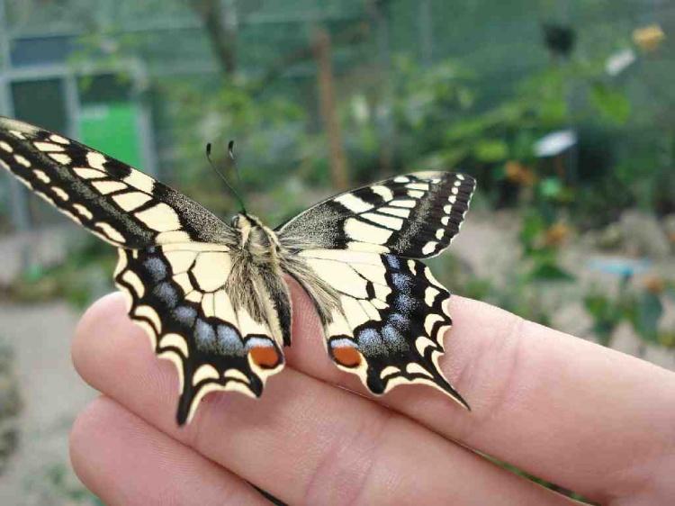 Animais/Papilio machaon -
