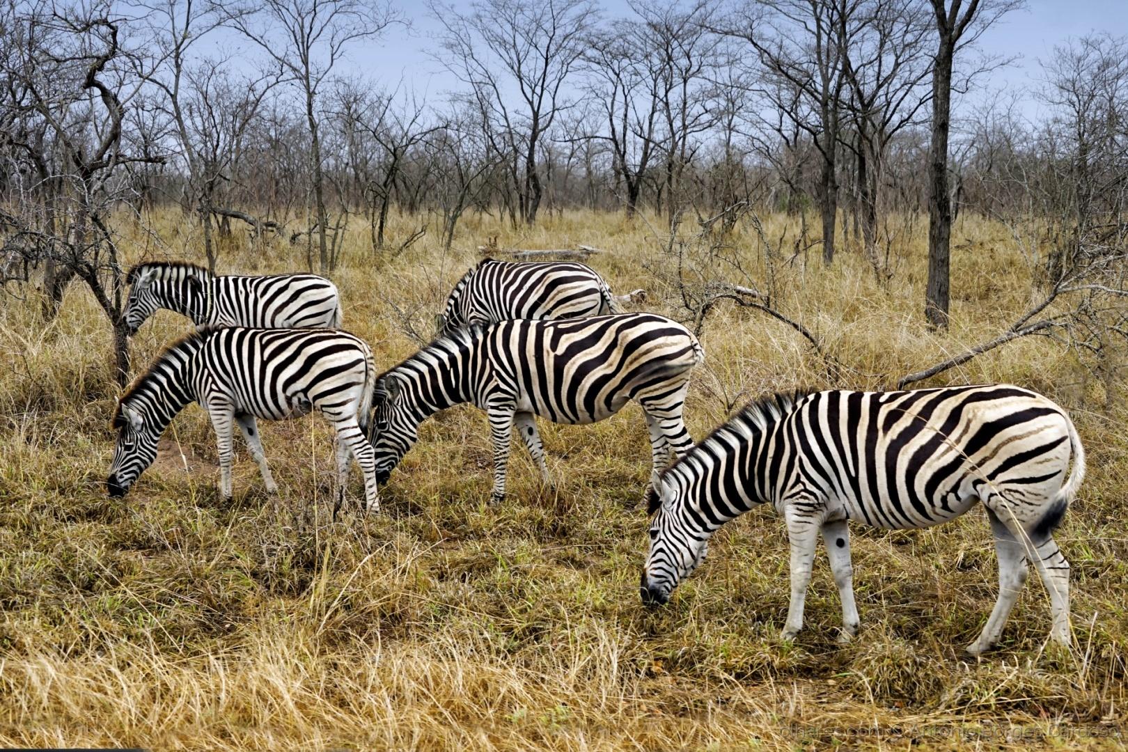 Animais/Zebras (Equus quagga) - Kruger Park, África do Sul