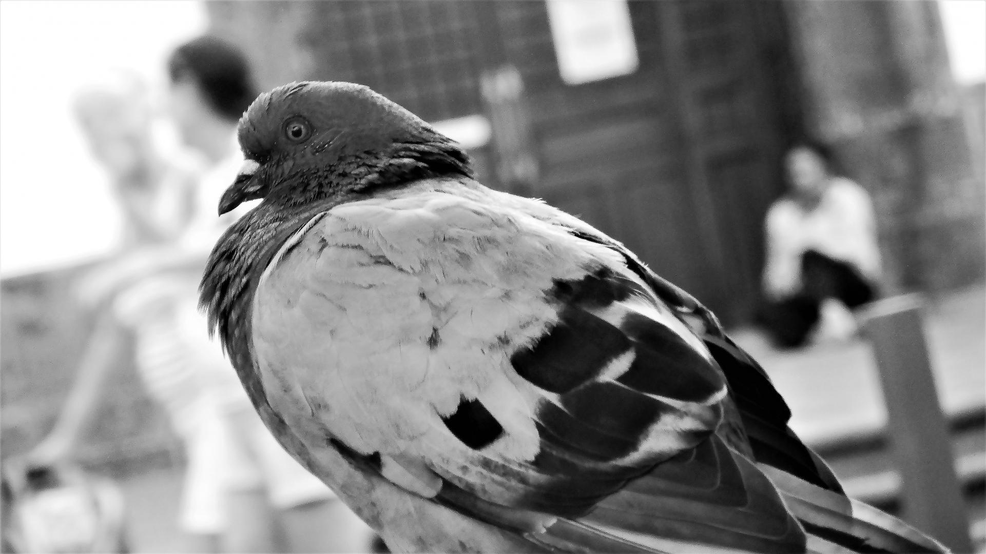 Animais/O dia em que veio o Pombo do Amor e da Paz