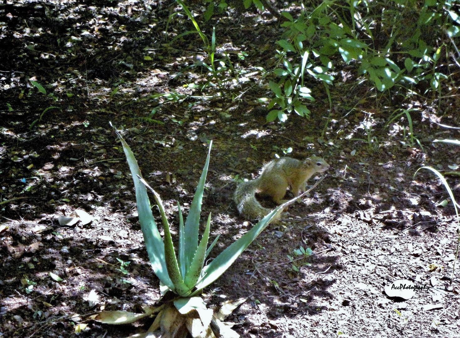 Animais/Esquilo (Sciurus vulgaris)