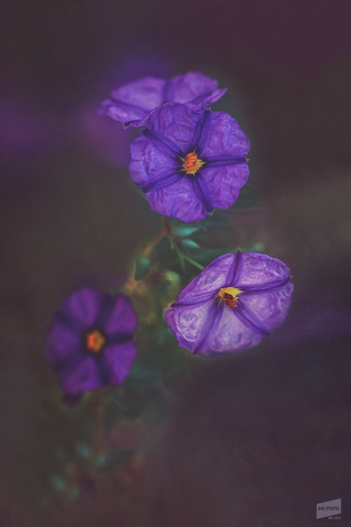 Macro/LYCIANTHES