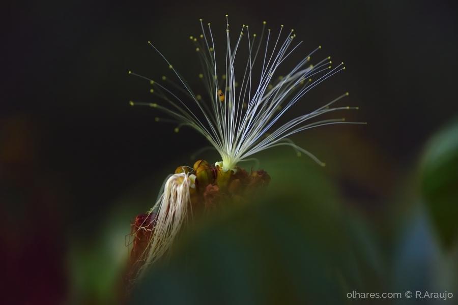 Outros/Flor do pequi