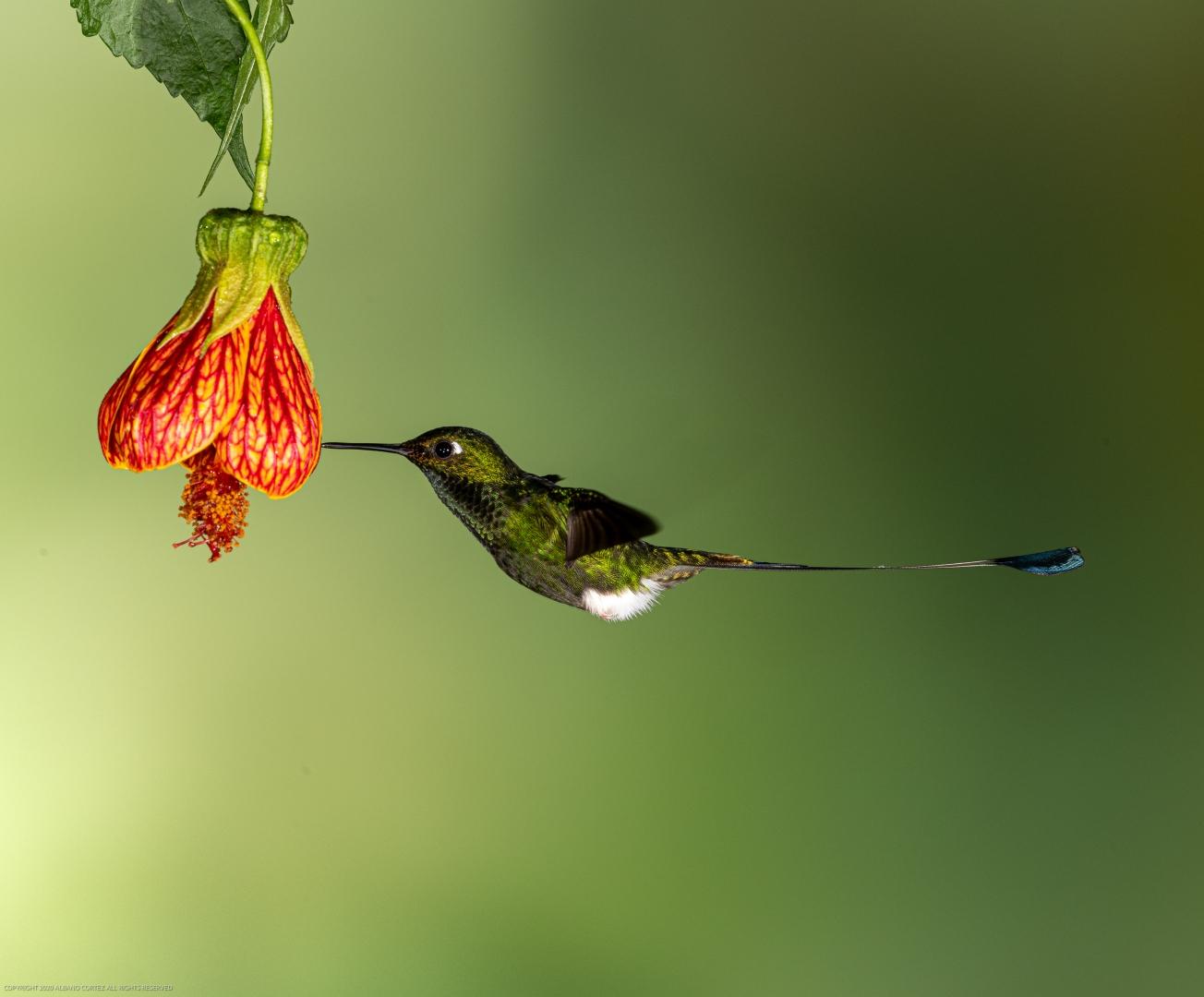 Animais/Colibri cauda de raquete