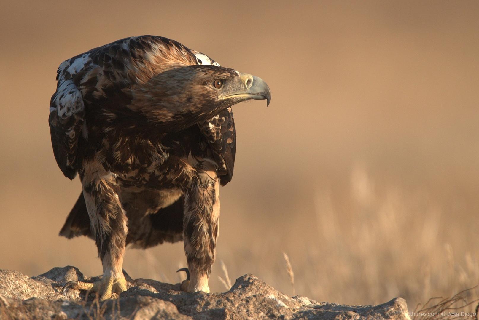 Animais/Águia-imperial-ibérica, Spanish imperial eagle, (A