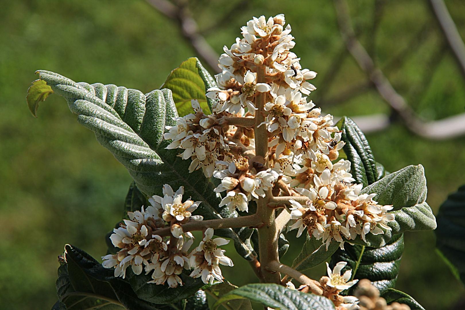 Outros/Flor de Nêspera.........