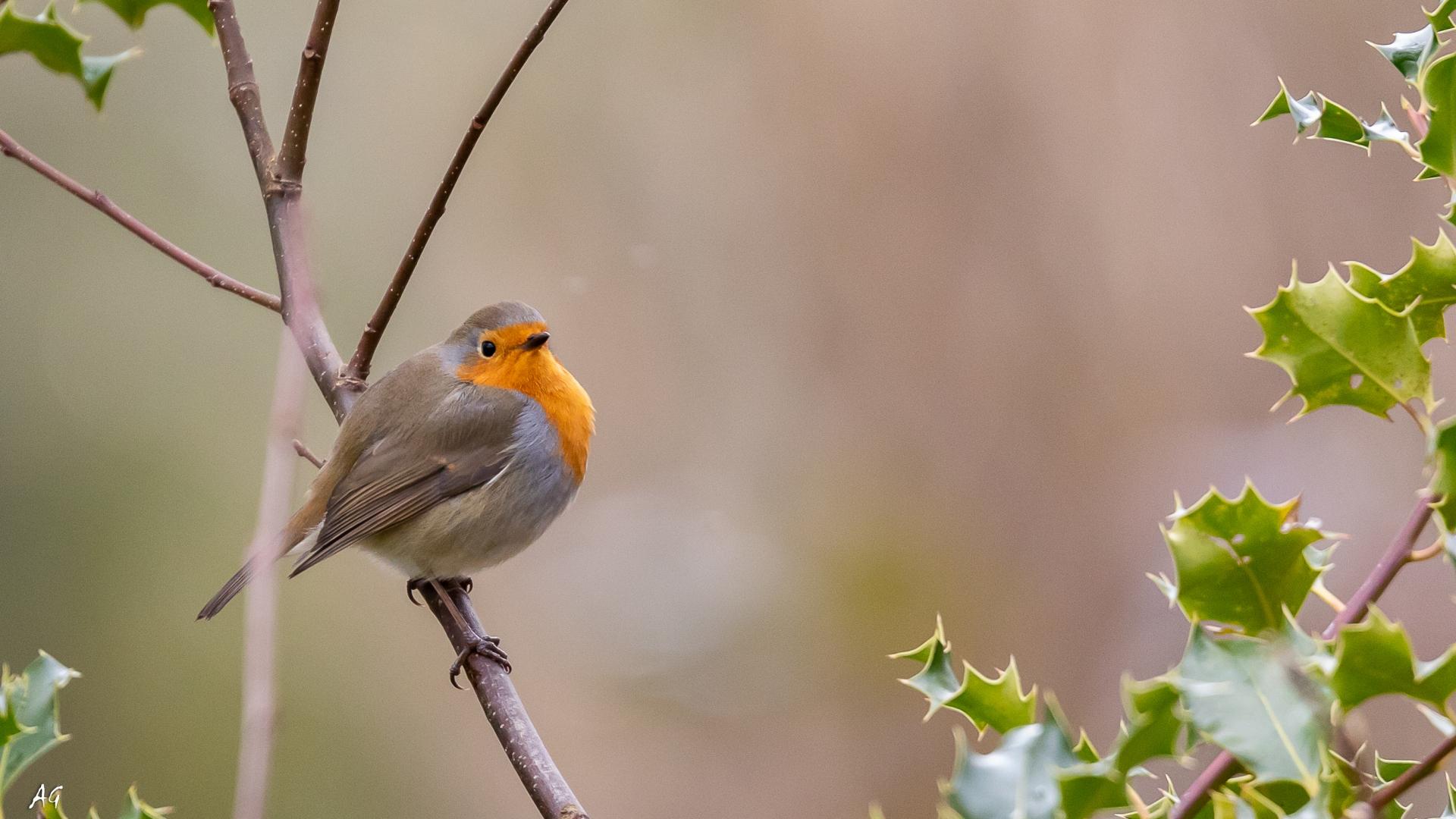 Animais/Robin