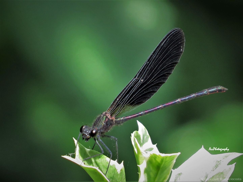 Paisagem Natural/Libelinha gaiteira negra (Calopteryx haemorrhoidal