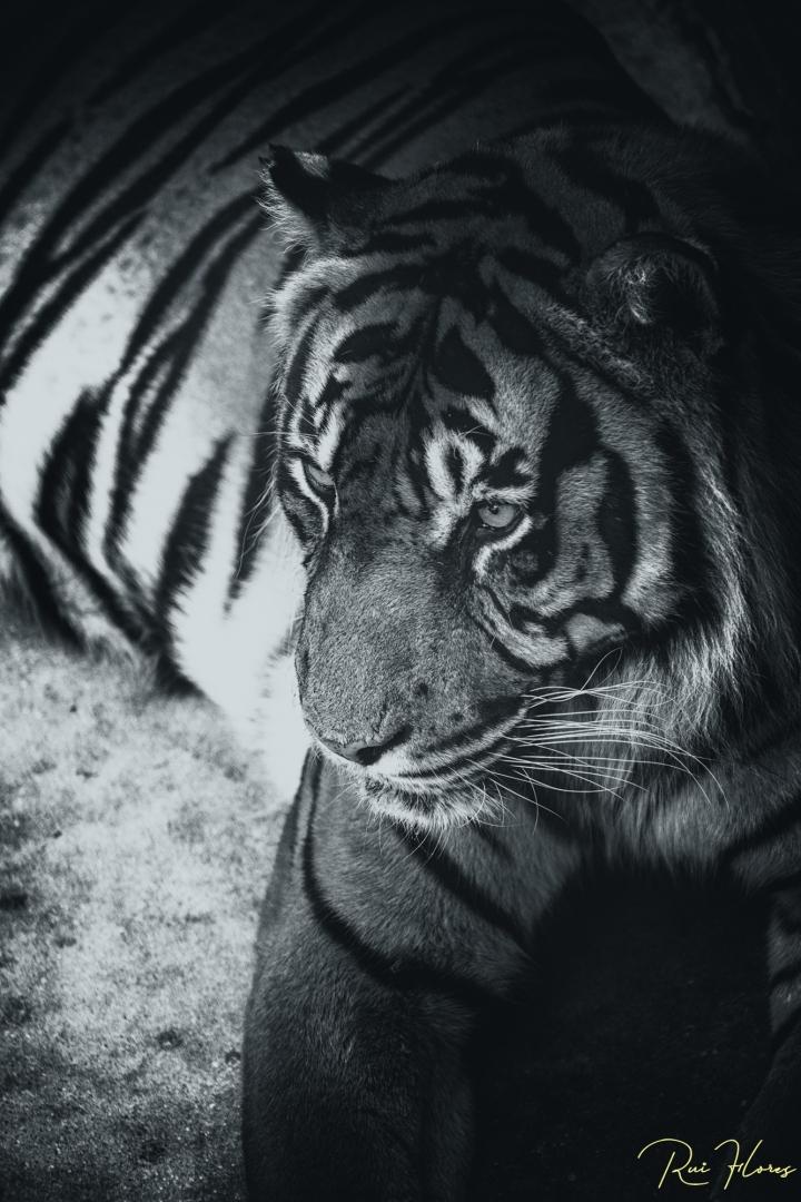 Animais/Ensaios a P&B #13 - Big cat