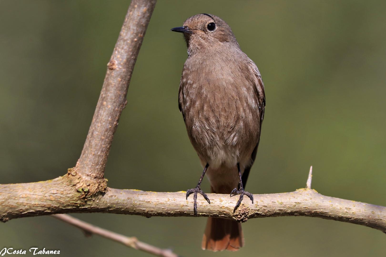 Macro/Rabirruivo-preto fêmea (Phoenicurus ochruros)