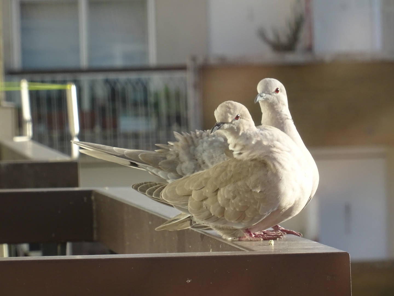 Animais/Duas rolas na varanda (ler pf)