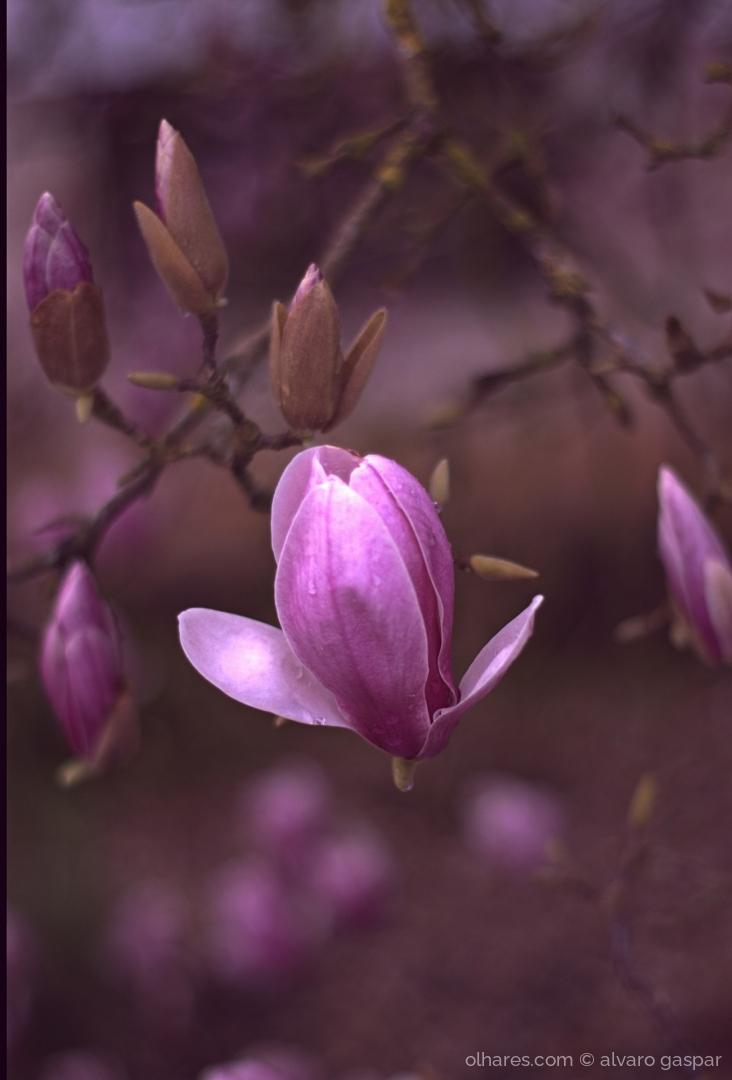 Macro/Flores de Magnólia.