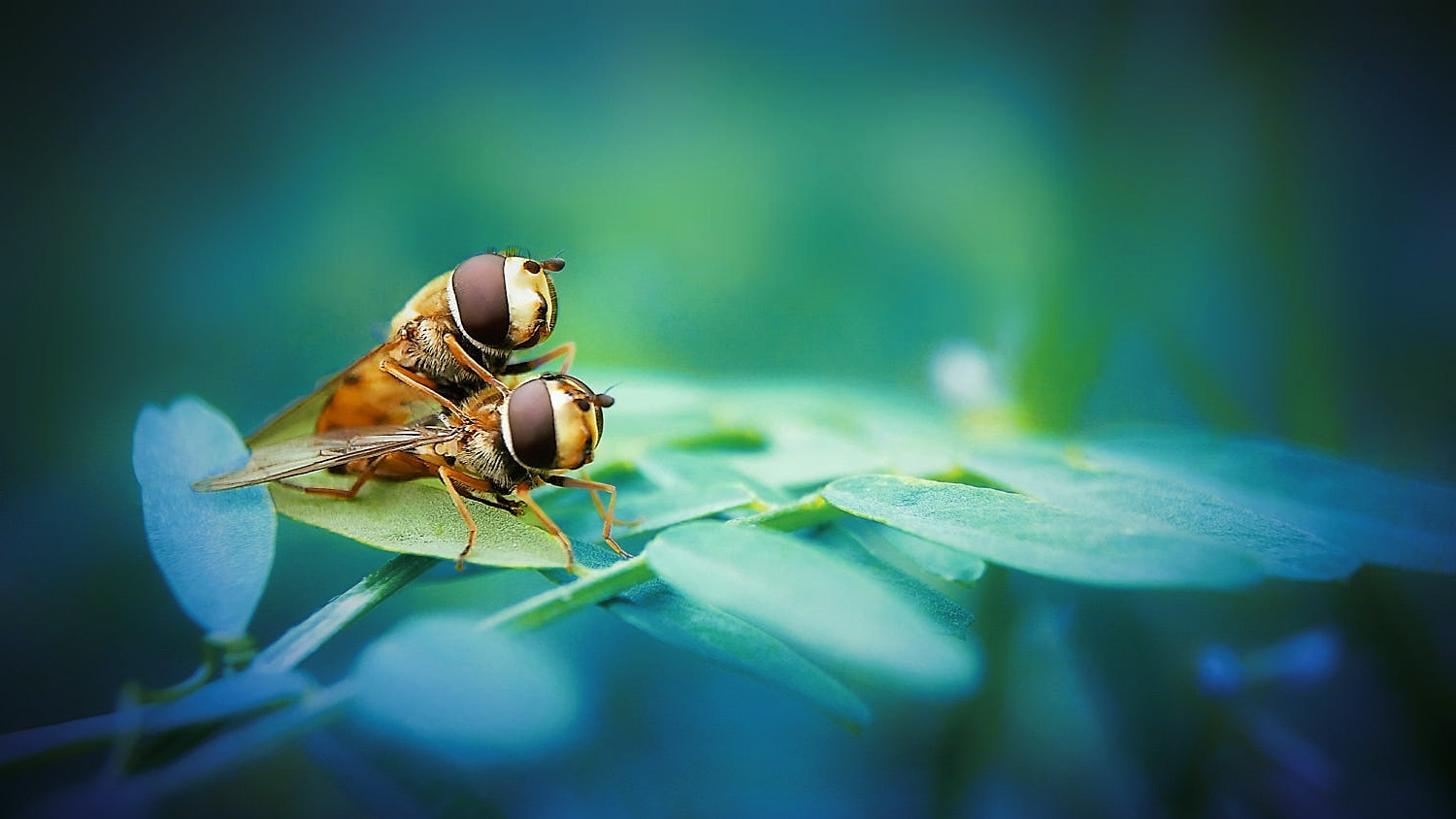 Macro/insect copulating