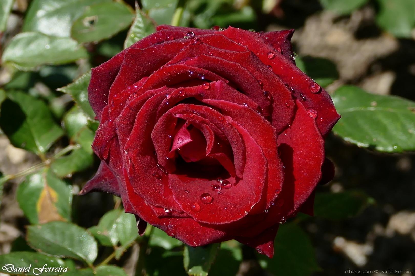 Macro/Rosa vermelha