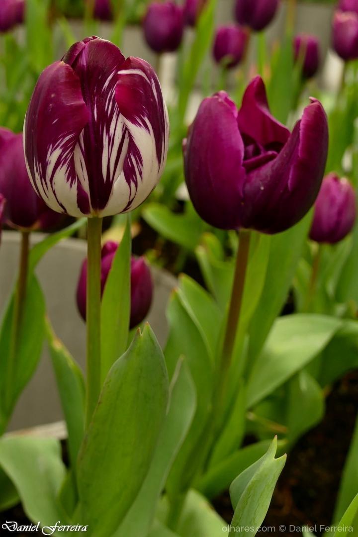Macro/Tulipa roxa matizada