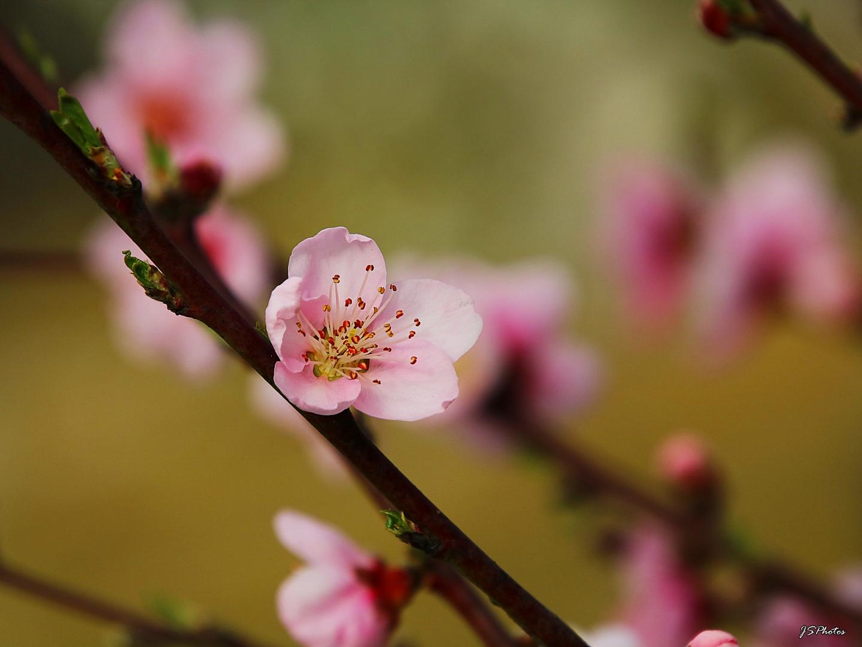 Macro/Flor pessegueiro...