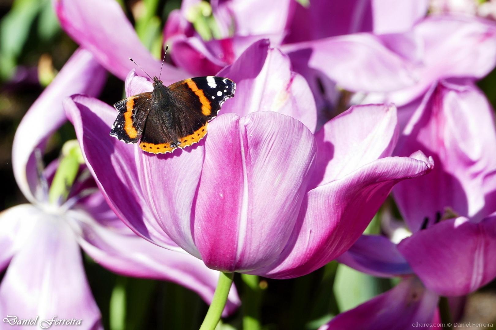 Macro/Borboleta na tulipa