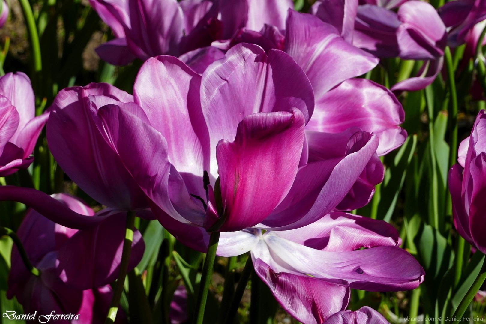 Macro/Tulipa