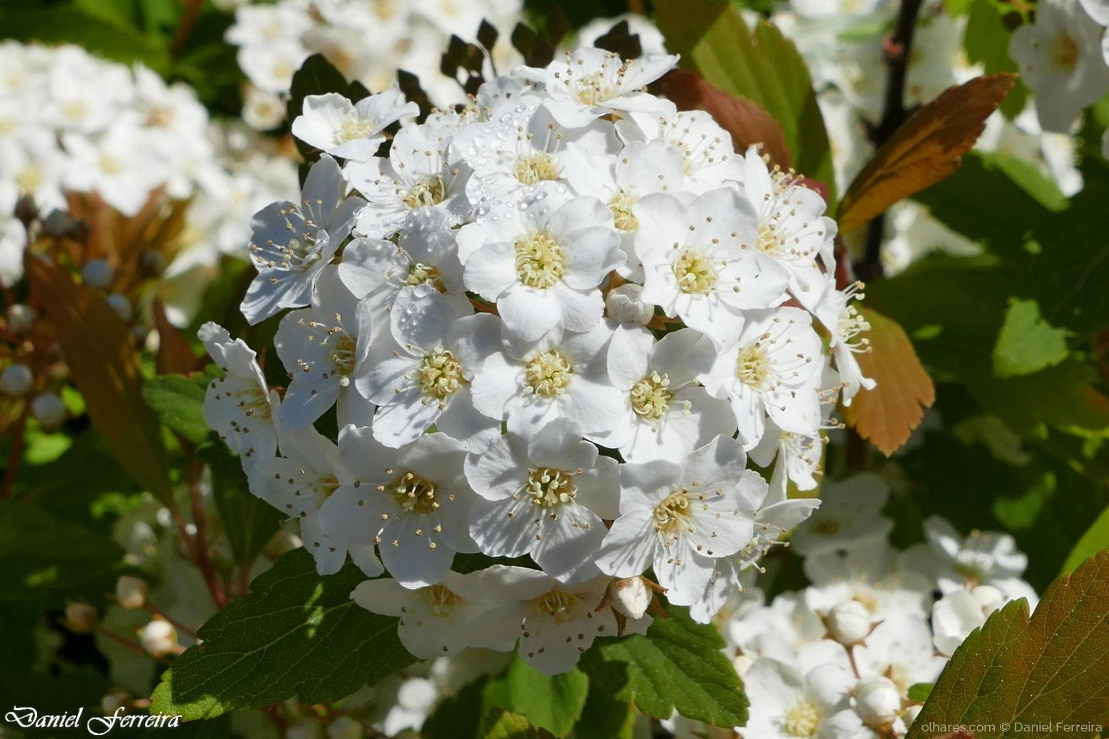 Macro/Flores brancas