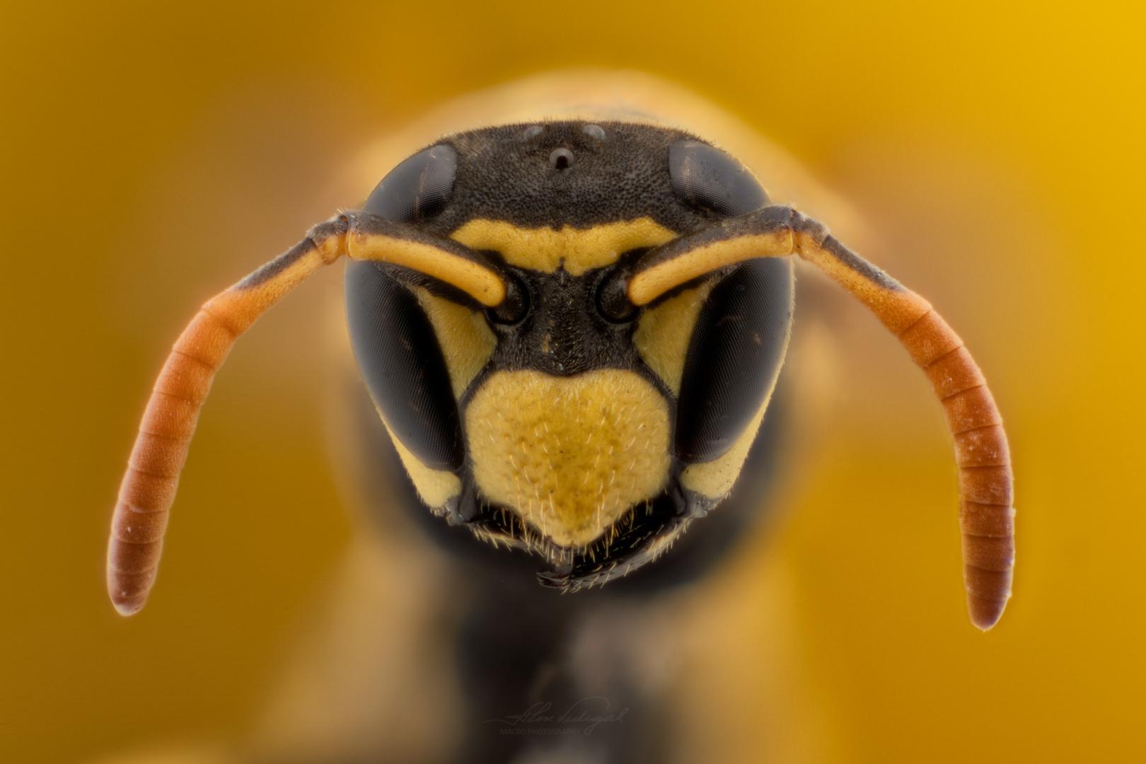 Macro/WASP