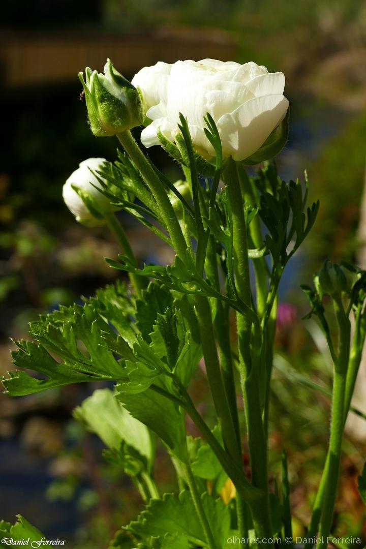 Macro/Ranunculus asiaticus