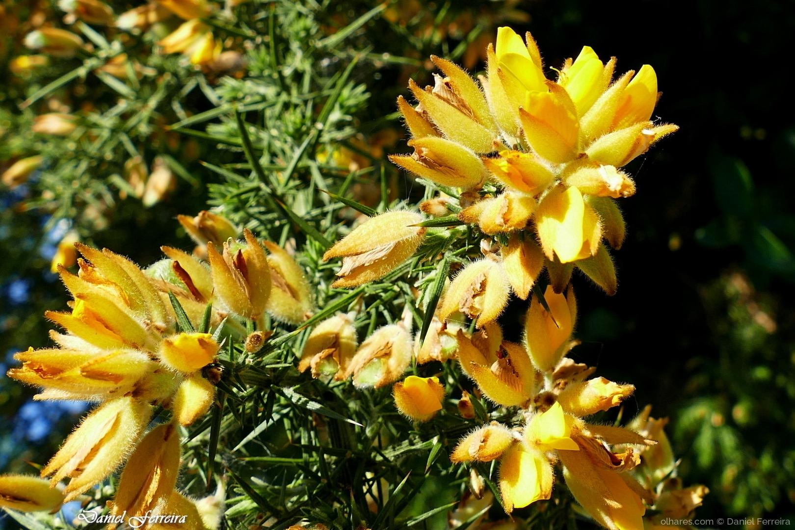 Macro/Flor de tojos