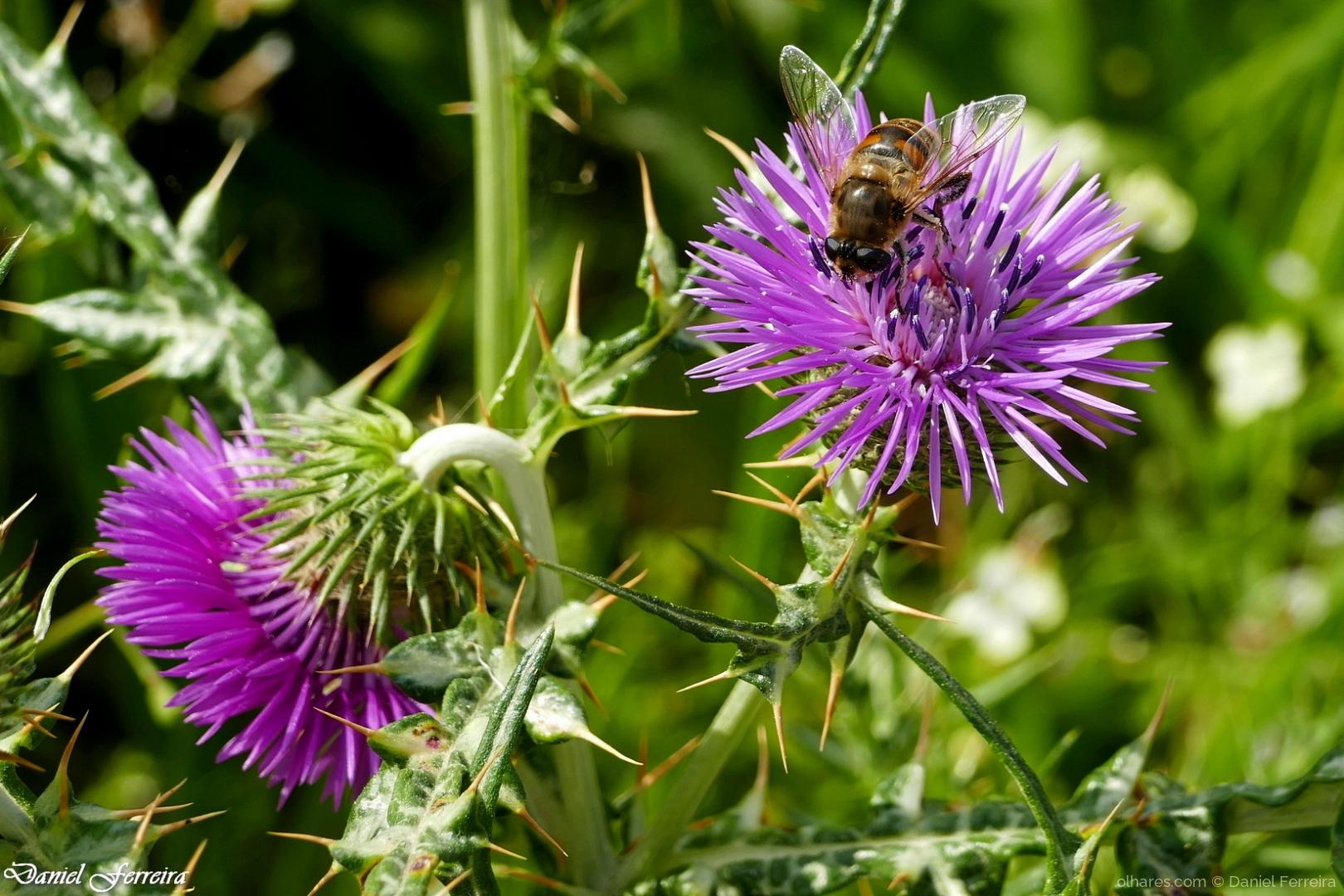 Macro/Uma abelha no cardo