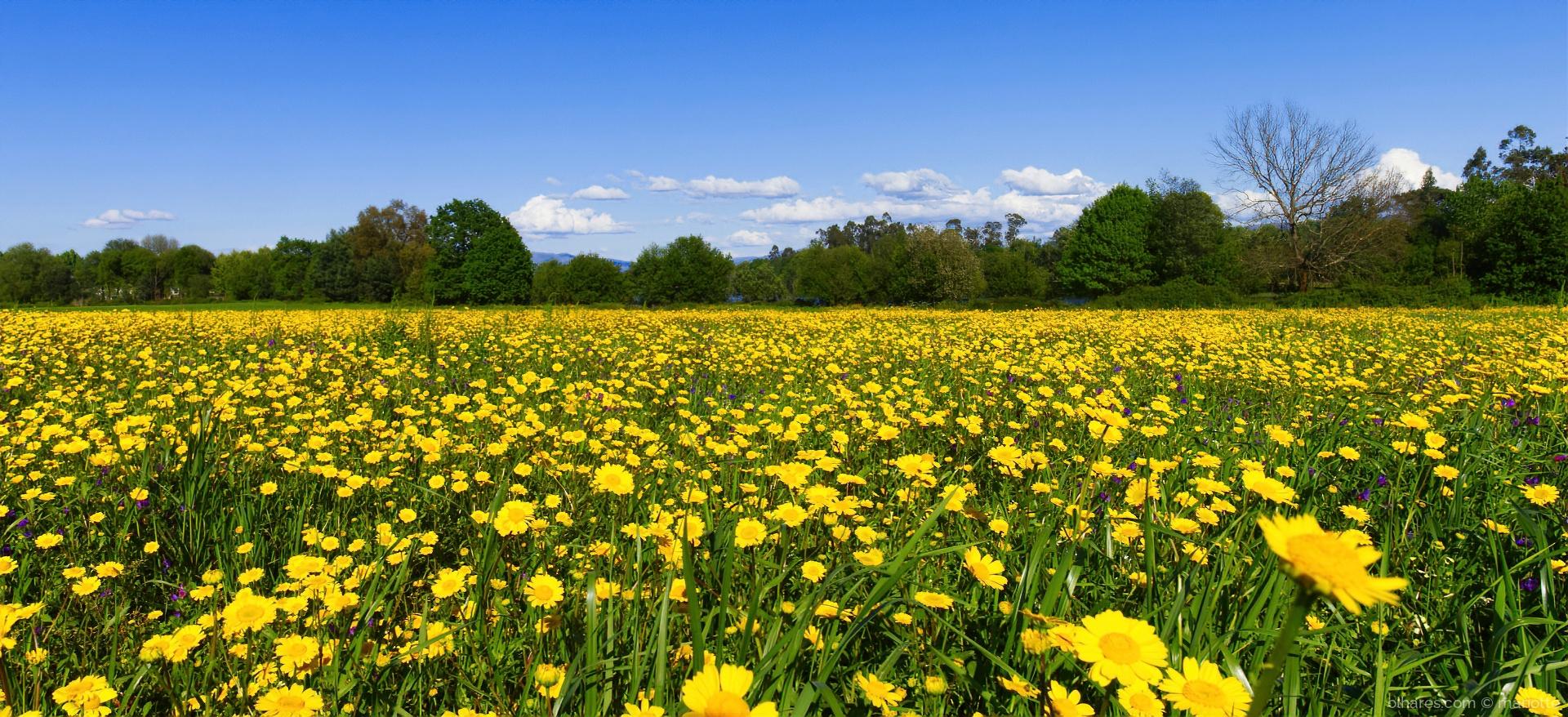 Paisagem Natural/campo de margaridas