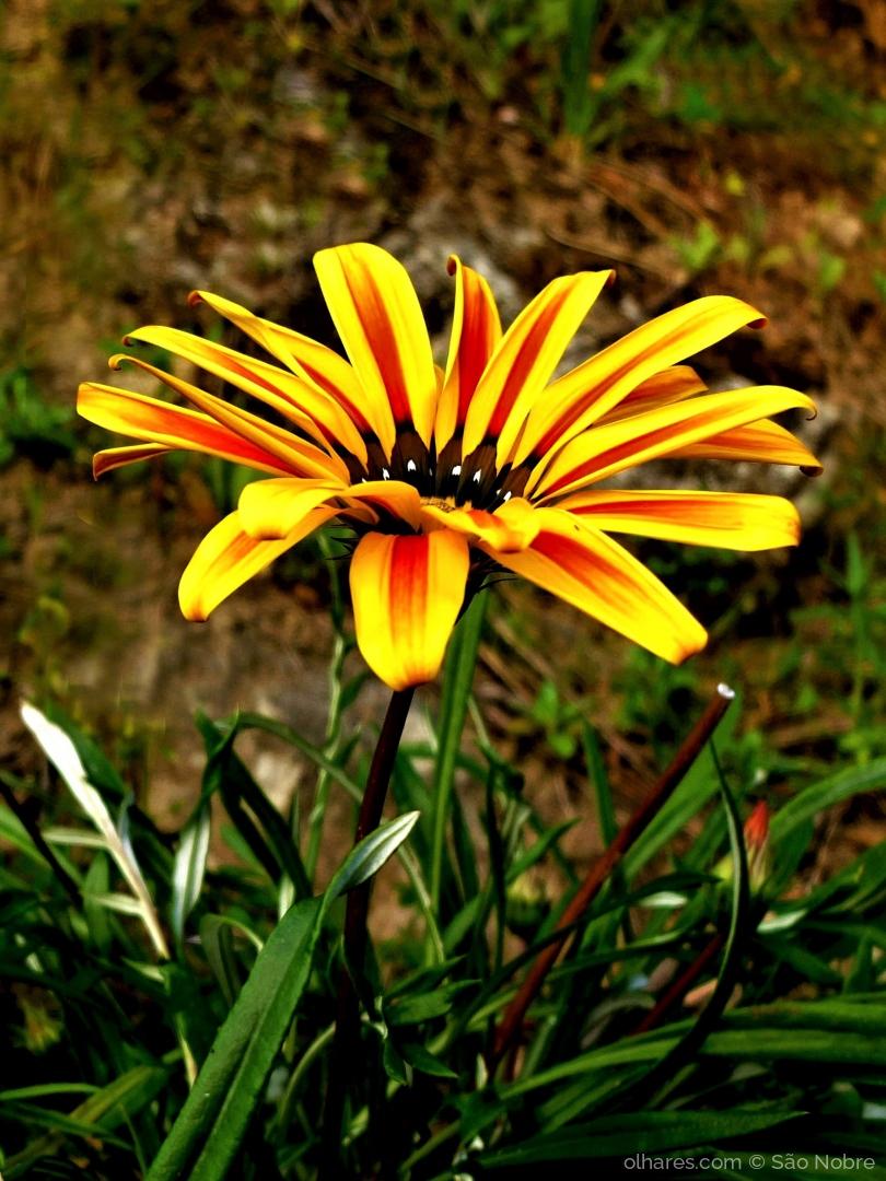 Macro/Flor Gazânia