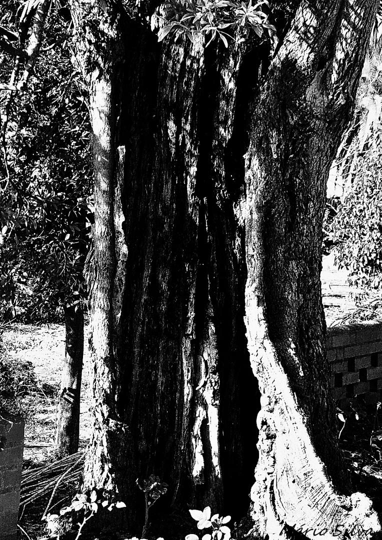 Gentes e Locais/ABRANTES -Jardim do Caslelo  - Velhos troncos