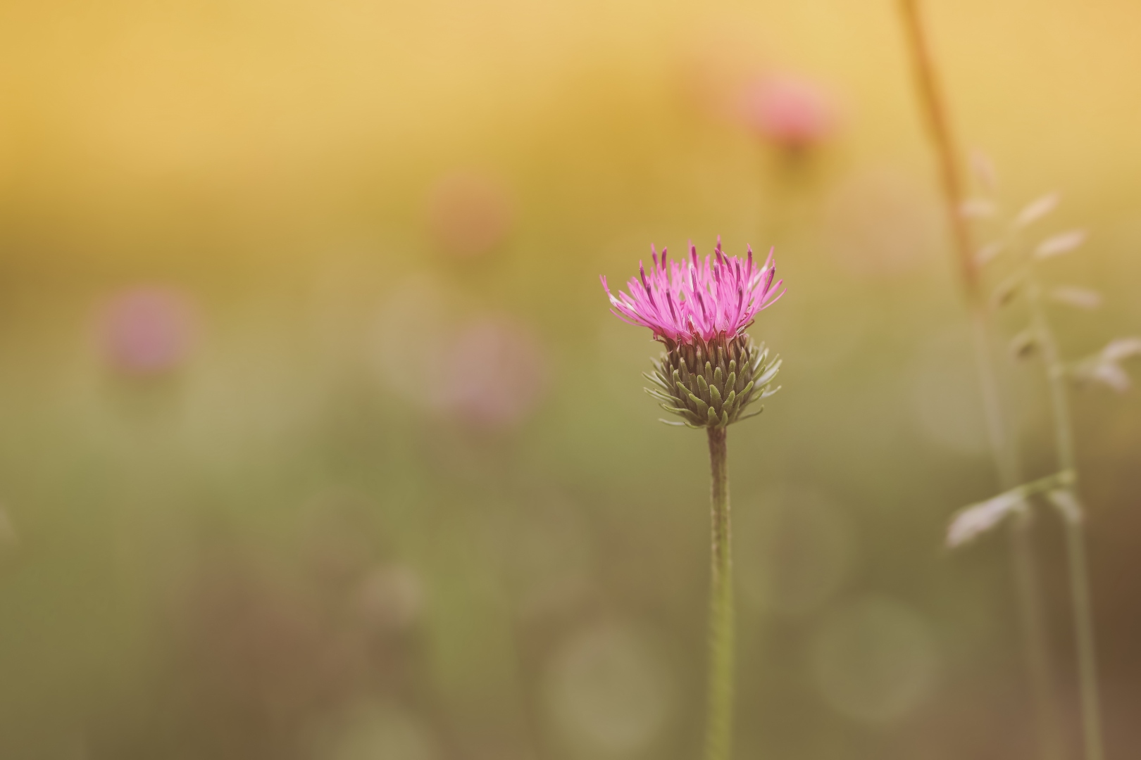 Macro/The thistle and the sun setting...