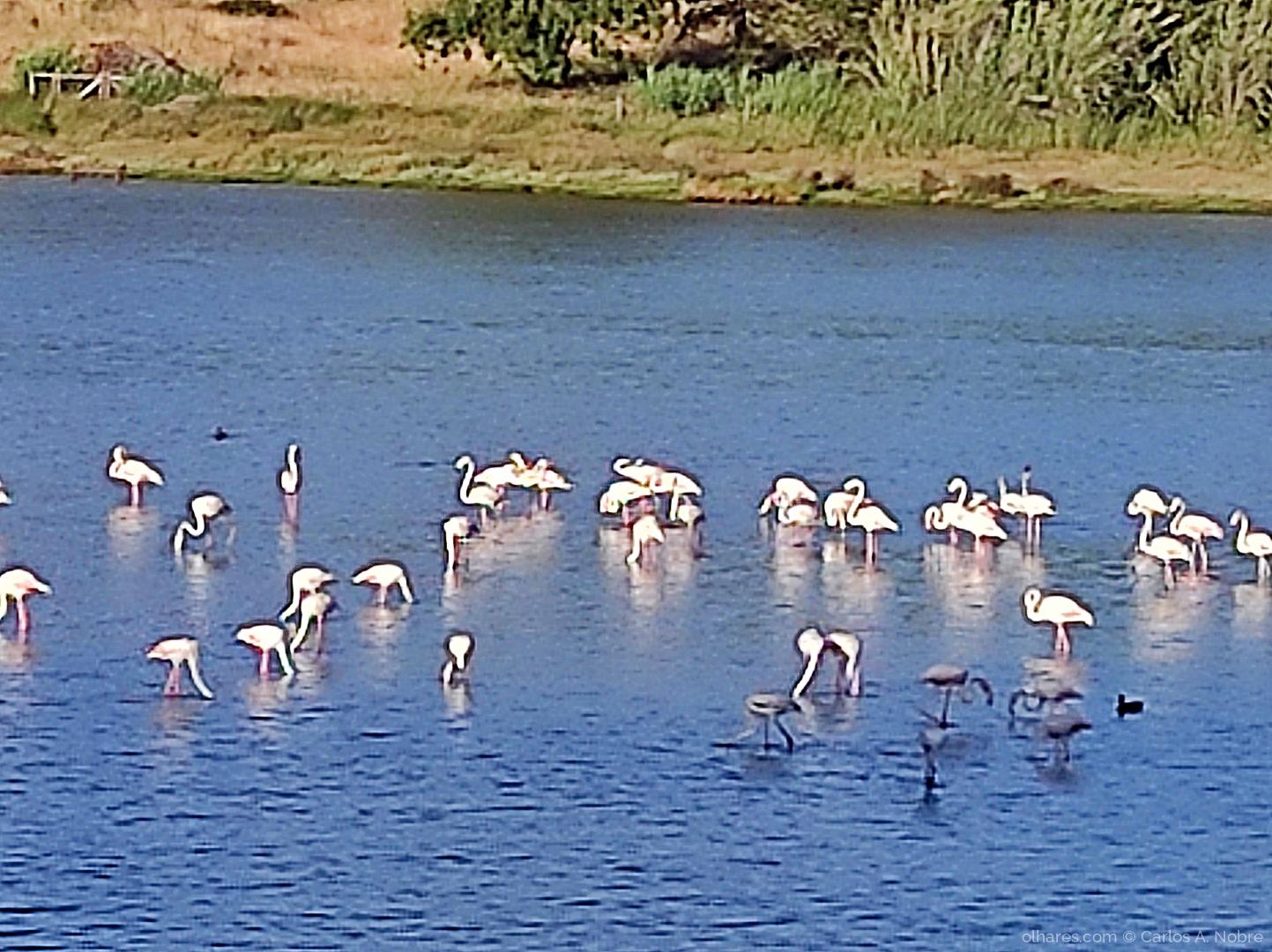 Animais/Flamingos na lagoa de Óbidos