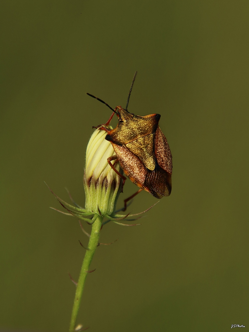 Animais/Carpocoris fuscispinus...