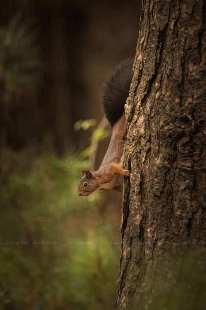 Animais/Esquilo