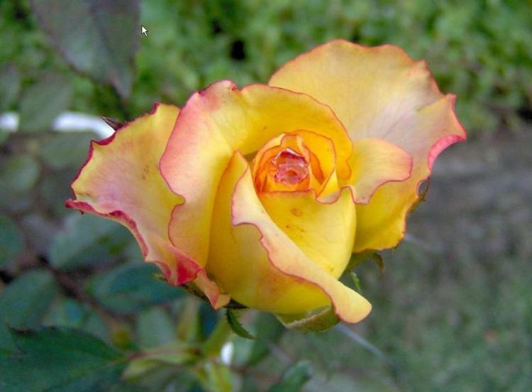 jardim rosas amarelas : jardim rosas amarelas:Rosa amarela Foto de Carlo