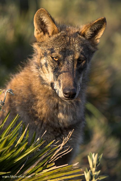 Animais/Lobo ibérico - 2