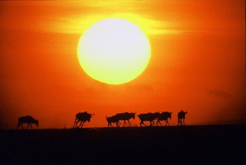 Animais/Migração dos gnus em Masai Mara, Quênia