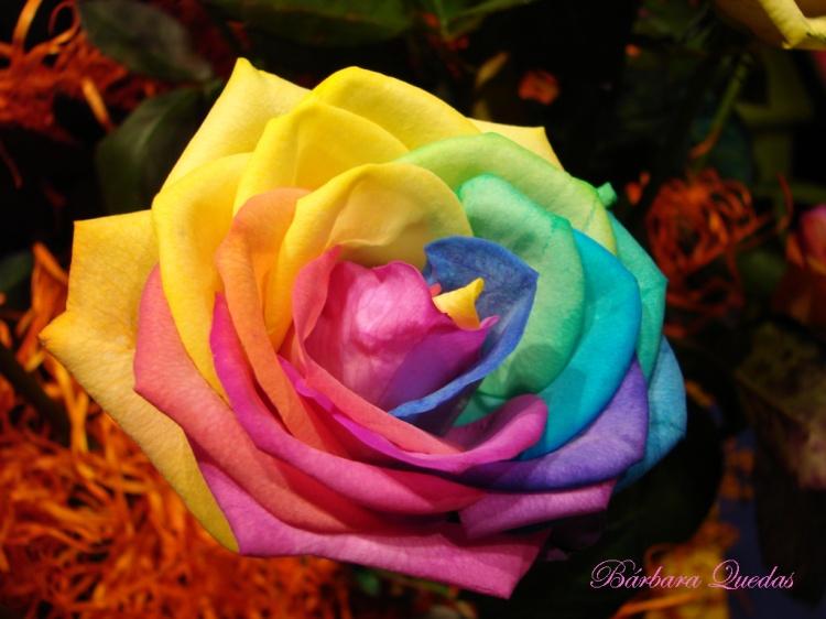 Um arco ris em flor foto de barbara quedas olhares - Fotos de rosas de colores ...