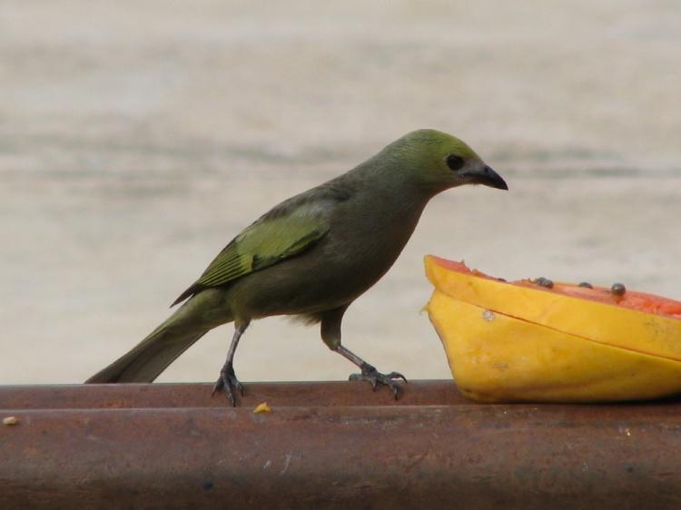 Animais/Sanhaço do Coqueiro