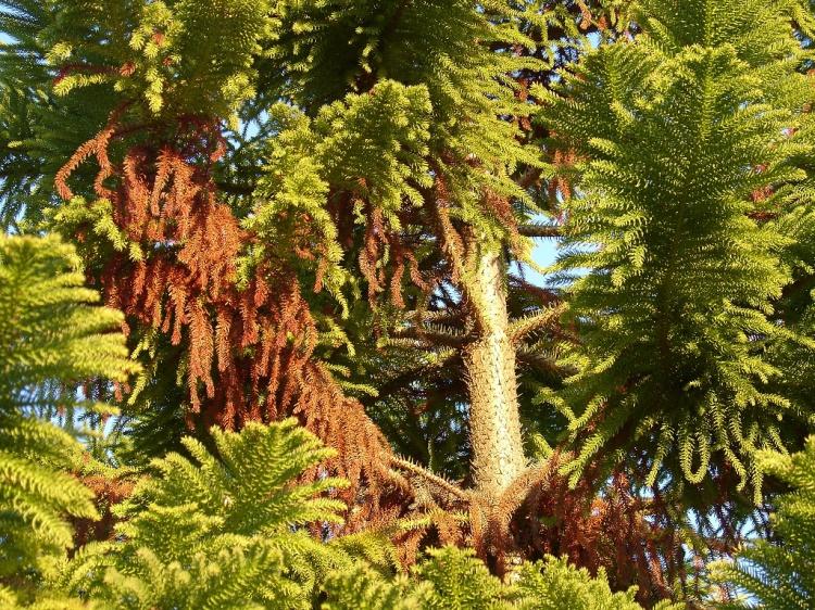 Paisagem Natural/Pinheiro de Jardim