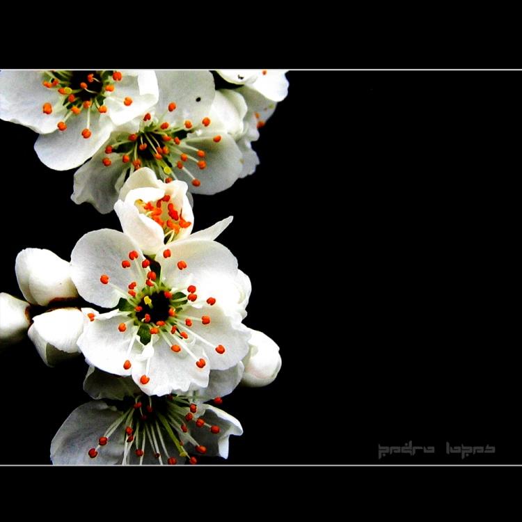 Paisagem Natural/flor de ameixoeira