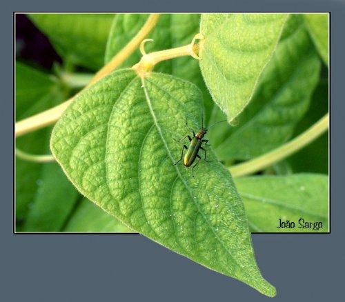 Animais/green bug