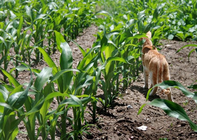 Animais/Pipoca no meio do milho
