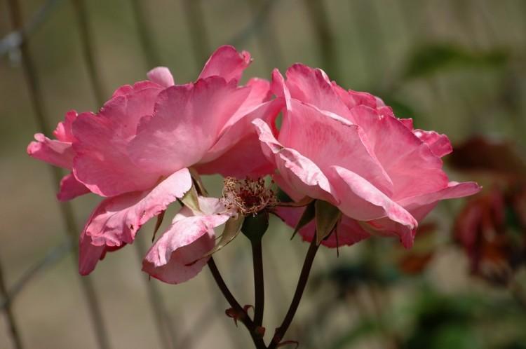 Outros/rosas do meu jardim..II