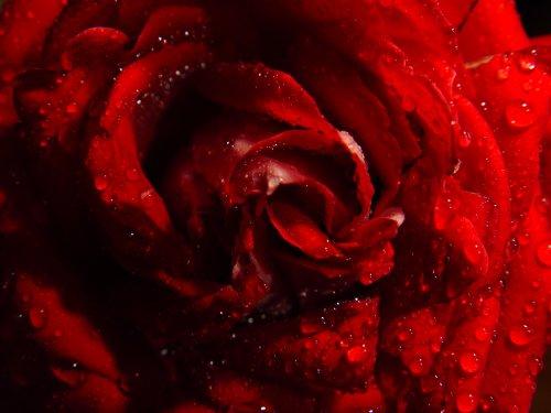 Macro/Rosa...